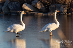 December 5, 2020 - Mute swans on a frozen pond. (Tony's Takes)
