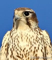December 4, 2020 - Prairie falcon up close. (Bill Hutchinson)