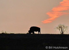 December 6, 2020 - Bison silhouette at sunrise. (Bill Hutchinson)