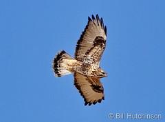 December 6, 2020 - Gorgeous rough legged hawk in Adams County. (Bill Hutchinson)
