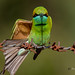 A Curious Green Bee Eater Stretching