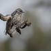 Dusky Woodswallow: Juvenile