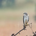 A Pallid Harrier Roosting for the night