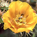 Blooming Cactus with 4 Bees