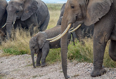 Down You Go! Amboseli National Park, Kenya