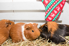 Three cute furry guinea pigs