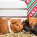 Three cute furry guinea pigs