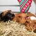 Three lovely guinea pigs