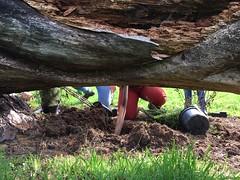 plantation automnale autour du pin Palmer