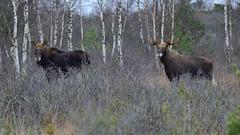 Pair of moose