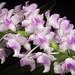 Aerides magnifica #1 Cootes & W.Suarez, OrchideenJ. 21: 127 (2014)