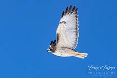 December 13, 2020 - Red Tailed Hawk Flyby. (Tony's Takes)