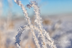December 13, 2020 - Hoar frost coats the grasses. (Tony's Takes)