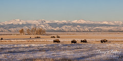 December 13, 2020 - Bison and the Rocky Mountains. (Tony's Takes)