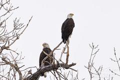 December 12, 2020 - Beautiful bald eagle pair. (Tony's Takes)