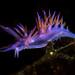 Flabellina affinis nudibranch
