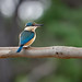 Sacred Kingfisher: The Waiting Game