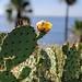 Beach Cactus Blossom