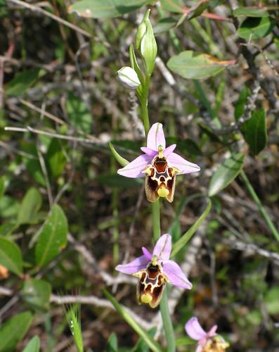 Orchid, Patara, Turkey