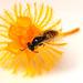 Native bee on Verticordia nitens