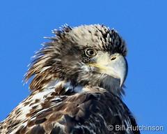 December 19, 2020 - Young bald eagle close up. (Bill Hutchinson)