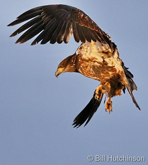 December 17, 2020 - Young bald eagle leaps into the air. (Bill Hutchinson)