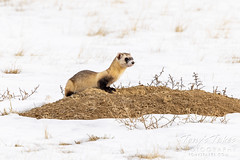December 20, 2020 - A black-footed ferret keeping watch. (Tony's Takes)