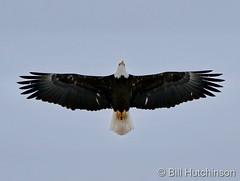 December 15, 2020 - A beautiful bald eagle flyover. (Bill Hutchinson)