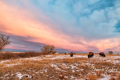 December 20, 2020 - Sunrise and bison. (Tony's Takes)