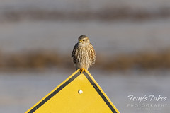 December 19, 2020 - A prairie merlin hanging out. (Tony's Takes)