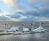 Saltcoats Swans3
