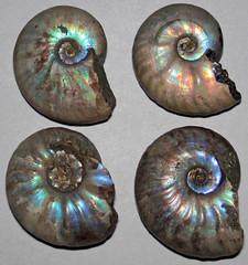 Ammonites (Cretaceous; Madagascar) 1