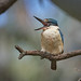Sacred Kingfisher: Time to Pause
