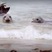Half Submerged Seals