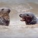 A Salt-watery Seal Salutation
