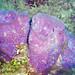 Niphates digitalis (pink vase sponges) (Bahamas)