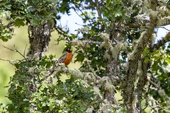 Lichen That Robin