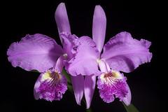Cattleya lueddemanniana 'Paul Drago' Rchb.f., Xenia Orchid. 1: 29 (1854)
