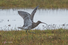 Photo of Curlew 502_9544.jpg