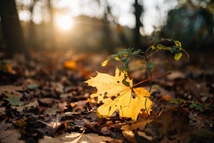 Sun shining through a yellow leaf on the ground