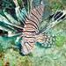 Pterois volitans (red lionfish) (Bahamas) 2