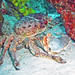 Mithrax spinosissimus (West Indian spider crab) (Bahamas) 1