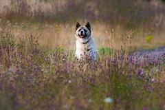 Photo of Happy Akita