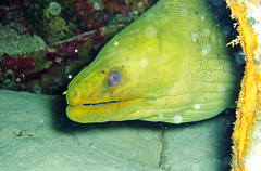 Gymnothorax funebris (green moray eel) (Bahamas)