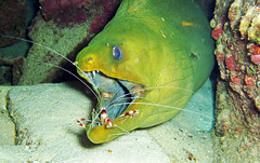 Gymnothorax funebris & Stenopus hispidus (green moray eel & banded cleaner shrimp) (Bahamas)