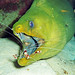 Gymnothorax funebris & Stenopus hispidus (green moray eel & banded cleaner shrimp) (Bahamas)