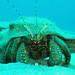 Petrochirus diogenes (giant hermit crab) (Bahamas)