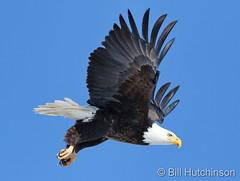 Decemer 29, 2020 - Gorgeous eagle departing. (Bill Hutchinson)