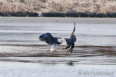 December 24, 2020 - Bald eagle battle. (Bill Hutchinson)