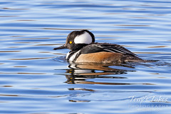December 26, 2020 - A male merganser out for a swim. (Tony's Takes)